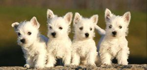 History of Westie Puppies
