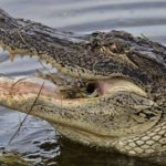 how long do alligators live