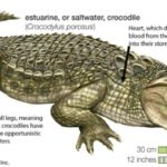 Adaptation of Crocodiles