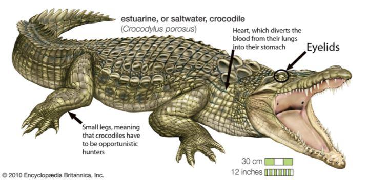 Adaptations of Crocodiles - Small Animal Planet