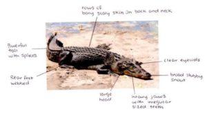 Adaptation of Crocodiles