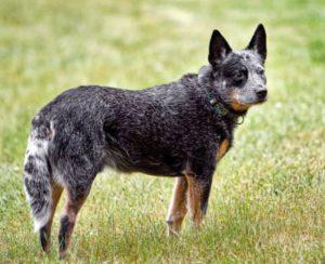 low maintenance dogs Australian Cattle Dog