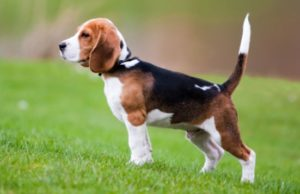 low maintenance dogs Beagle