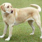 low maintenance dogs Australian Cattle Dog Labrador retriever