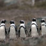 African Penguin, Jackass Penguin, Cape Penguin, Black-Footed Penguin