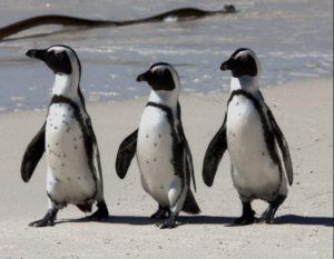 African Penguin, Jackass Penguin, Cape Penguin, Black-Footed Penguin