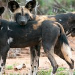 African Wild Dog Markings