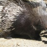 African porcupine, North African Crested Porcupine