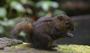 African pygmy squirrel