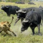 The African Buffalo