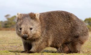 Wombats Have Square Poop