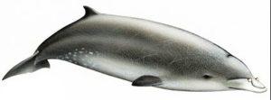 Andrew's Beaked Whale