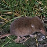 The American Water Shrew