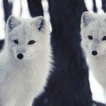 Arctic Fox Pictures