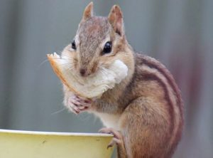 Chipmunk eating bread