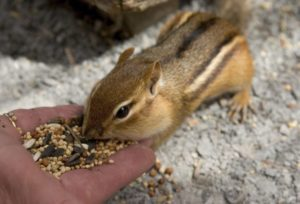 Feeding Chipmunk Seeds
