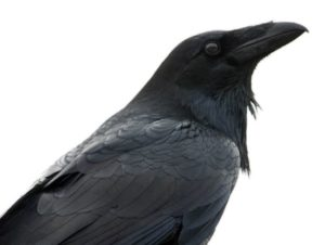 Crows Might be Scary but they Are Smart