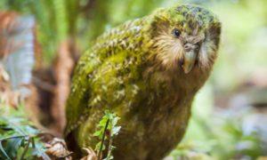 Dumbest Animal - Kakapo