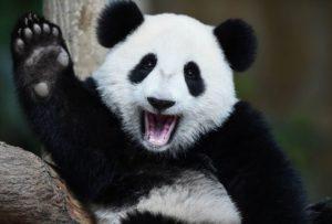 Dumbest Animal - Panda