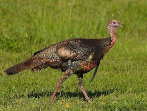 Dumbest Animal - Turkey