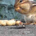 What Do Chipmunks Eat?