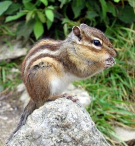 What Do Chipmunks Eat?