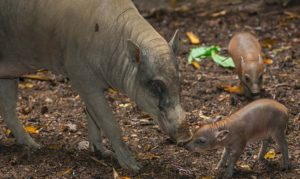 What is a Babirusa?