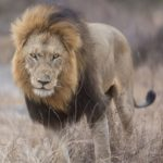 Most Popular Zoo Animals - Lion