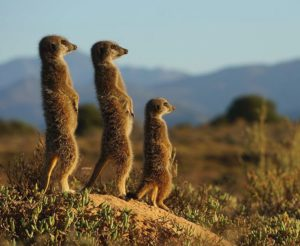 Most Popular Zoo Animals - Meerkats