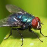 Most Agile Animal - Housefly