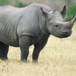Solitary Animals - Black Rhinoceros
