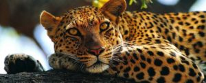 Solitary Animals - Leopard