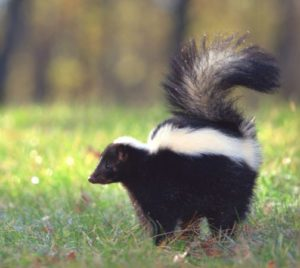 Solitary Animals - Skunk