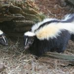 What Do Skunks Like to Eat the Most?