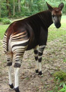 Extinct Animals found Alive - Okapi