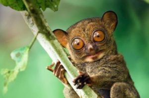 Extinct Animals found Alive - Pygmy Tarsier