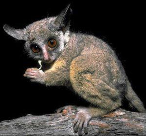 Most Unique Animals in Africa - Galago