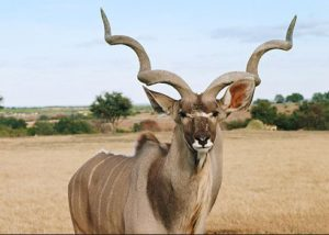 Most Unique Animals in Africa - Greater Kudu