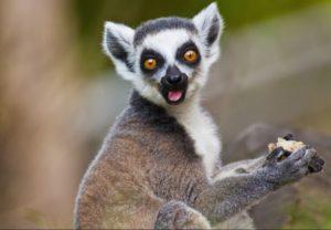 Most Unique Animals in Africa - Lemurs