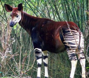 Most Unique Animals in Africa - Okapi