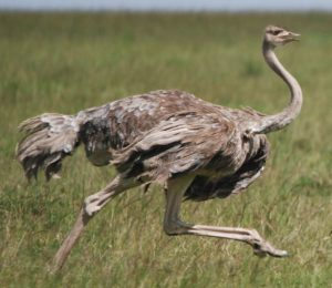Most Unique Animals in Africa - Ostrich