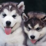 Best Treats for Husky Puppies