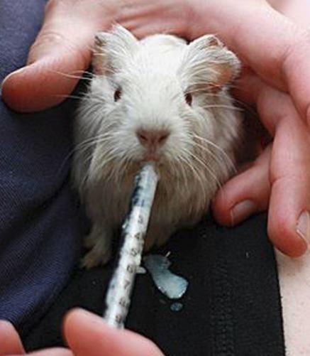 Syringe Feeding Guinea Pig
