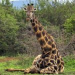 What Animals Has the Highest Blood Pressure - The Giraffe