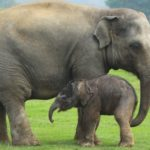 Are Elephants Mammals