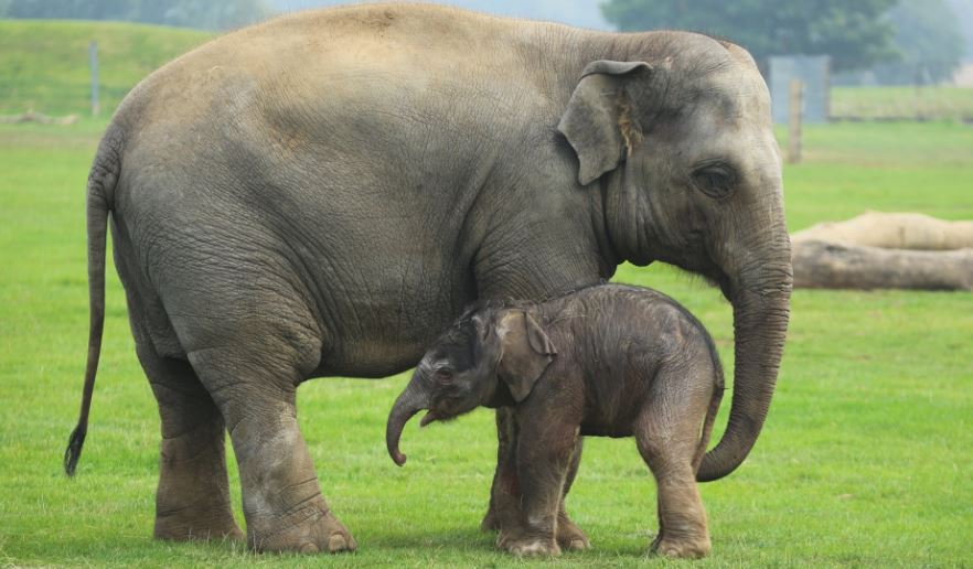 Are Elephants Mammals >> Is An Elephant A Mammal Small Animal Planet