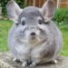 The adorable chinchilla
